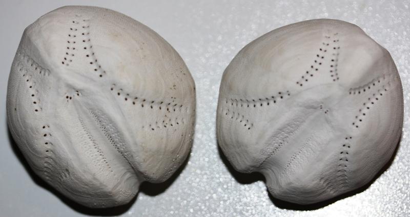 Spatangoida - Loveniidae - Echinocardium cordatum (Pennant, 1777) Echino11