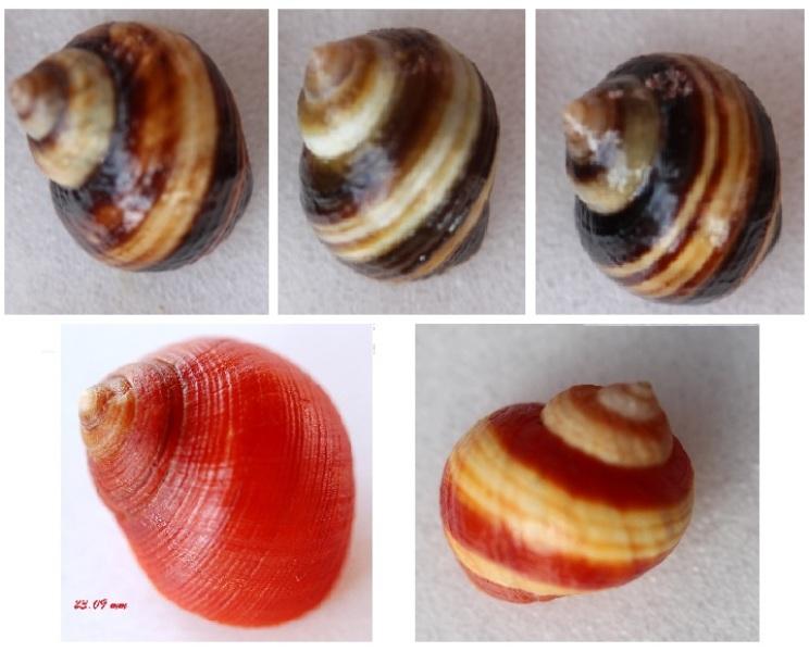 Littorina saxatilis - (Olivi, 1792) Img_2118