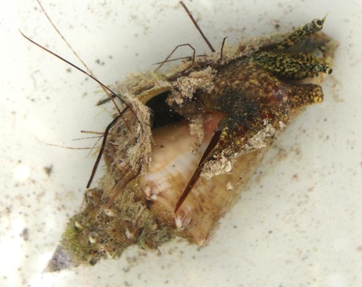 Strombidae Aliger gigas - (Linnaeus, 1758) Img_2714
