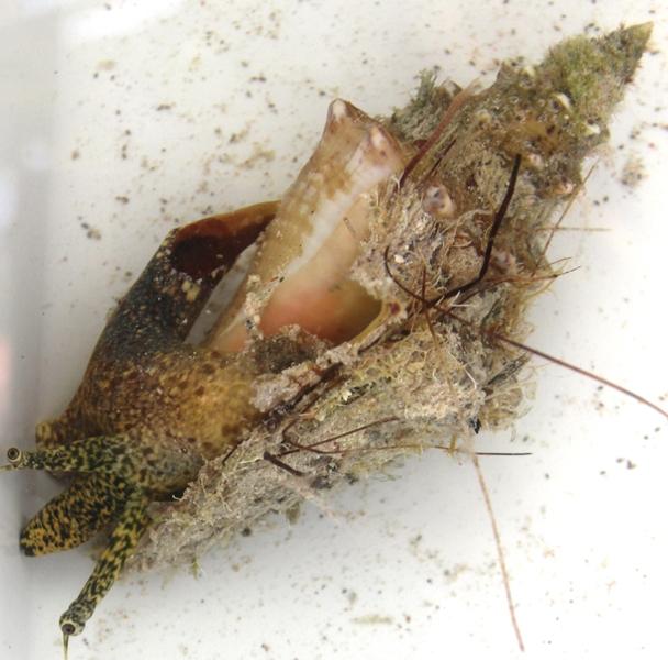 Strombidae Aliger gigas - (Linnaeus, 1758) Img_2715