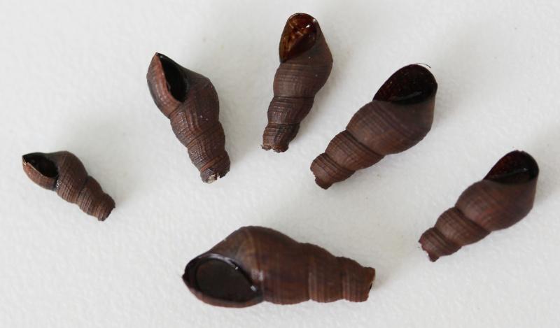 Tarebia granifera - (Lamarck, 1816) - de Guadeloupe Img_3113