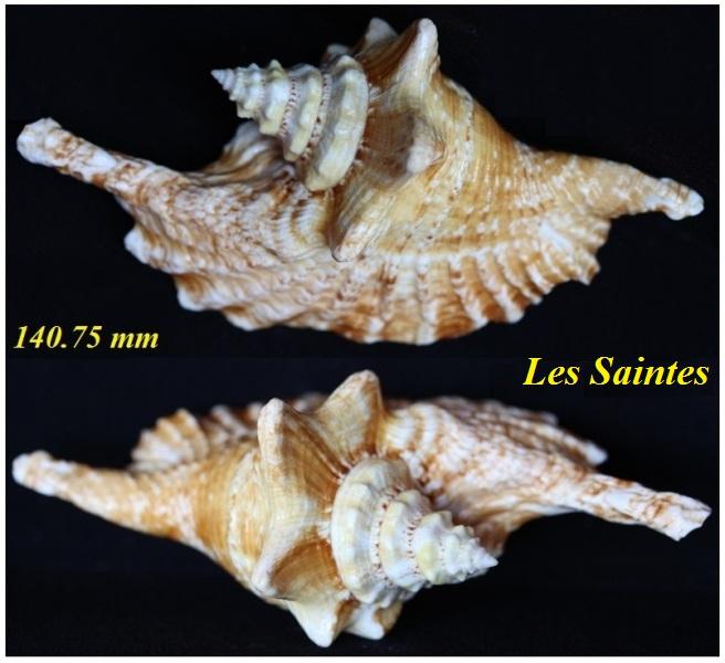 Strombidae Aliger gallus - (Linnaeus, 1758) - Page 2 Img_3232
