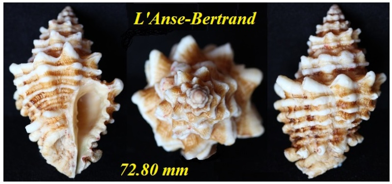 Vasum capitellum - (Linnaeus, 1758) Img_3234