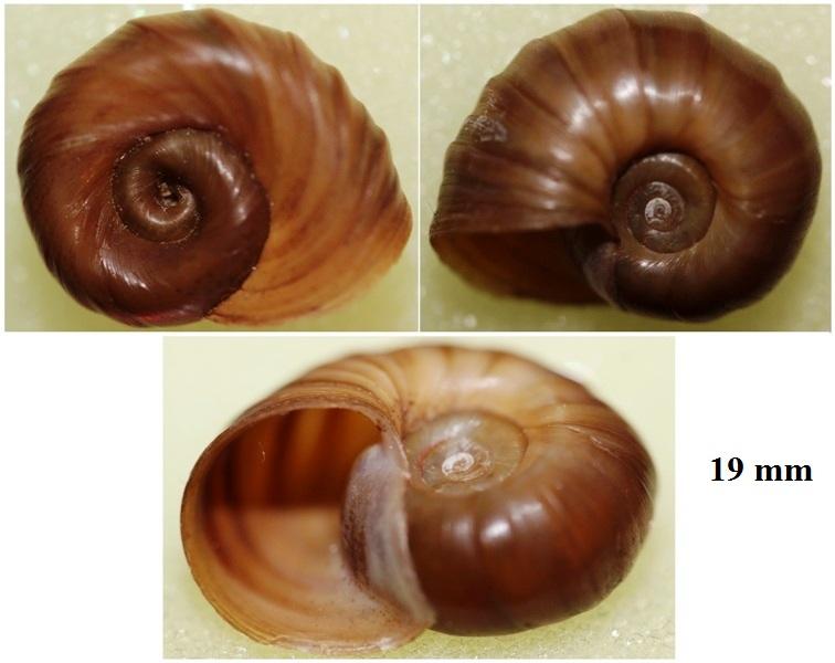 Helisoma duryi - (Wetherby 1879) Img_3417