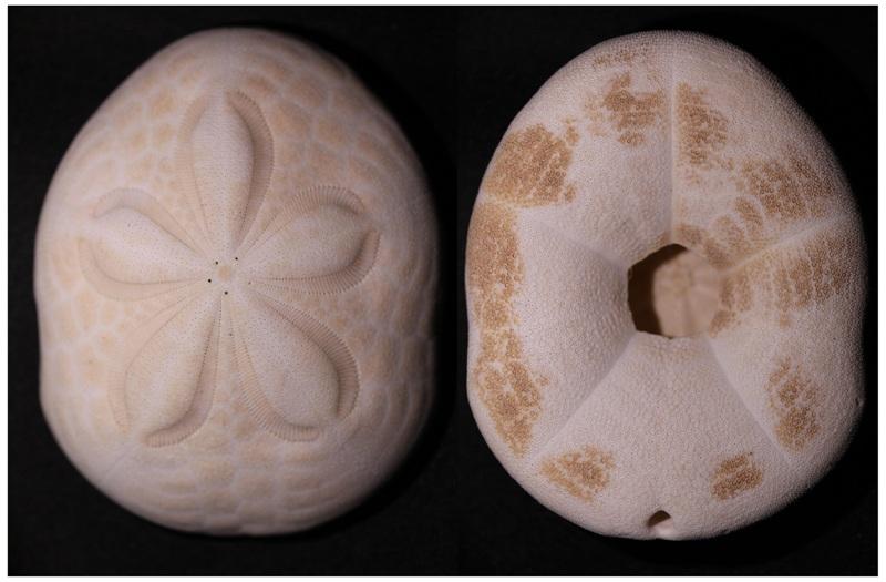 Clypeasteroida - Clypeasteridae - Clypeaster rosaceus (Linnaeus, 1758) Img_3423
