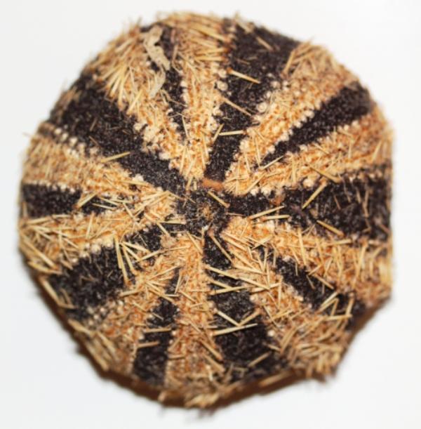 Camarodonta - Toxopneustidae - Tripneustes gratilla (Linnaeus, 1758) Img_3718