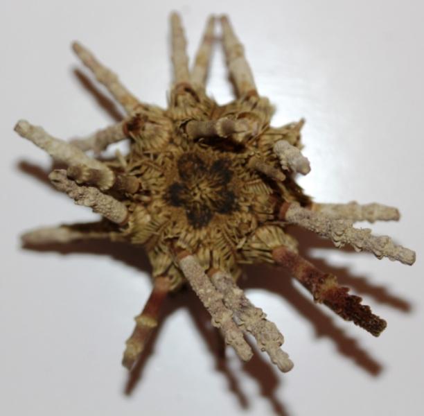Cidaroida - Cidaridae - Plococidaris verticillata (Lamarck, 1816) Img_3723