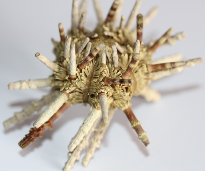 Cidaroida - Cidaridae - Plococidaris verticillata (Lamarck, 1816) Img_3725
