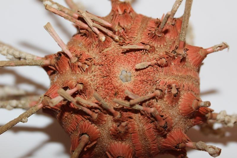 Cidaroida - Cidaridae - Stereocidaris granularis rubra Mortensen, 1927  Img_3731