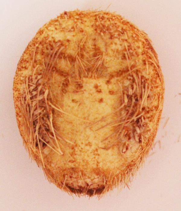 Spatangoida - Maretiidae - Maretia planulata (Lamarck, 1816) Img_3736