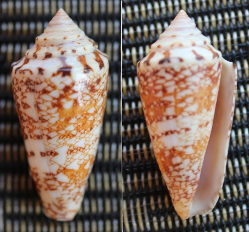 Conus (Leptoconus) locumtenens - Blumenbach, 1791 Img_4112