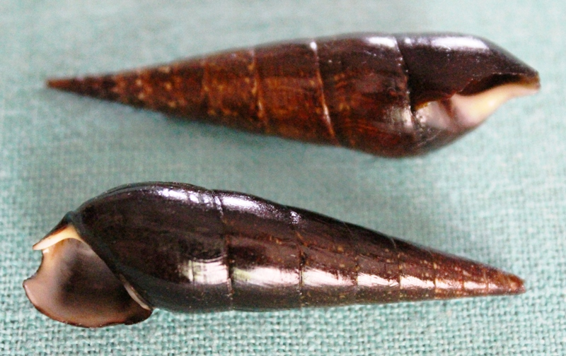 Melanoides plicaria - (Born, 1778) & Faunus ater - Linnaeus, 1758 Img_4211