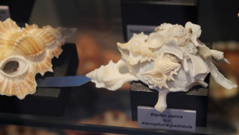 Musée des coquillages de Méditerranée de Saint Jean-Cap Ferrat (06) Img_4329