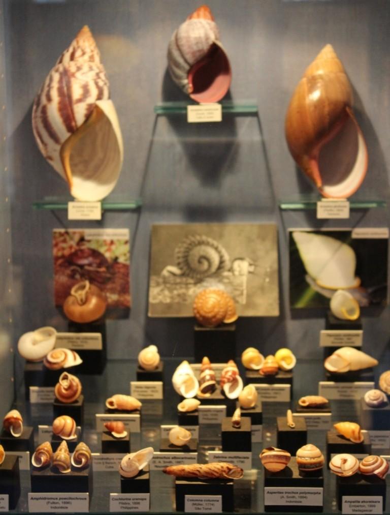 Musée des coquillages de Méditerranée de Saint Jean-Cap Ferrat (06) Img_4335