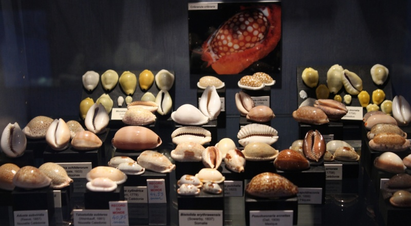 Musée des coquillages de Méditerranée de Saint Jean-Cap Ferrat (06) Img_4353