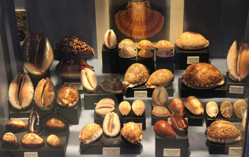 Musée des coquillages de Méditerranée de Saint Jean-Cap Ferrat (06) Img_4354