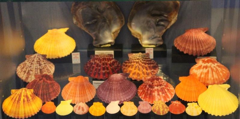 Musée des coquillages de Méditerranée de Saint Jean-Cap Ferrat (06) Img_4357