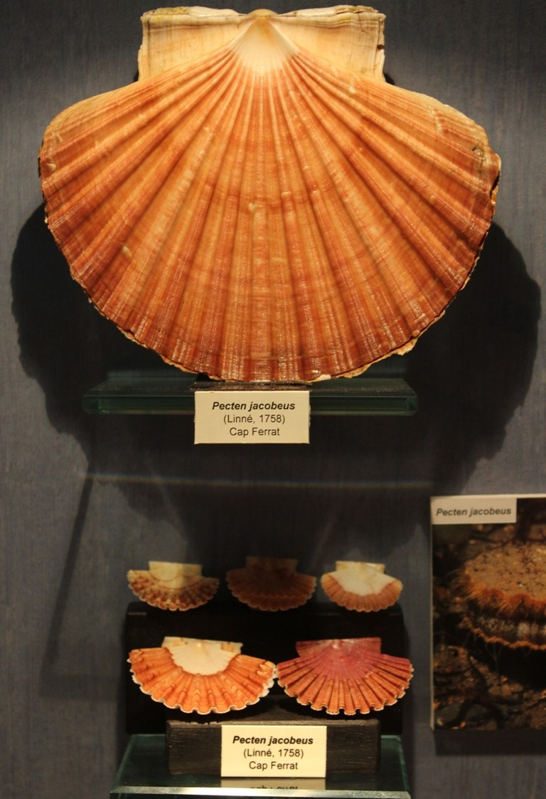 Musée des coquillages de Méditerranée de Saint Jean-Cap Ferrat (06) Img_4362
