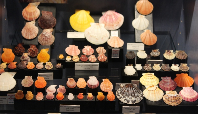 Musée des coquillages de Méditerranée de Saint Jean-Cap Ferrat (06) Img_4363