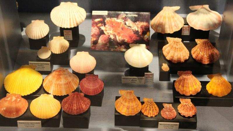 Musée des coquillages de Méditerranée de Saint Jean-Cap Ferrat (06) Img_4364