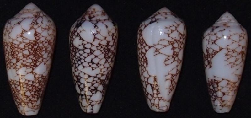 Conus (Darioconus) pennaceus   Born, 1778  -  de Saint Brandon Omaria10
