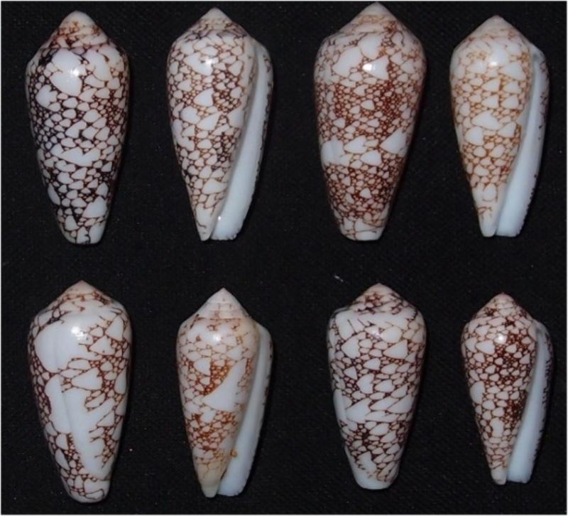 Conus (Darioconus) pennaceus   Born, 1778  -  de Saint Brandon Omaria11