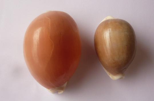 Aurantium (Philippines) & Cameleopardalis mariae - marque post 1 P1010710