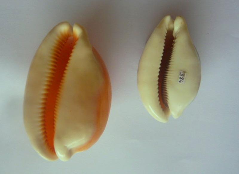 Aurantium (Philippines) & Cameleopardalis mariae - marque post 1 P1010711