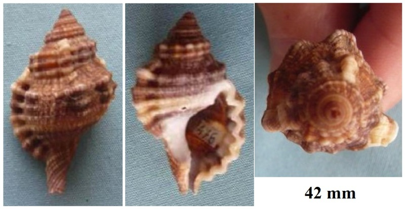 Cymatiidae Gutturnium muricinum - (Röding, 1798) P1020213