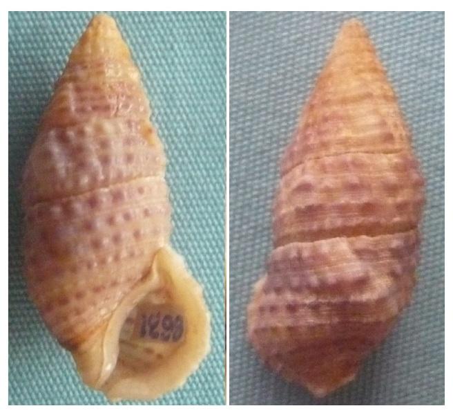Clypeomorus bifasciatus (Sowerby II 1855) P1020511
