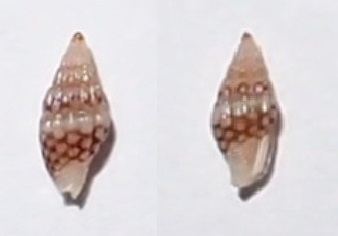 Zafra ocellatula - (Hervier, 1900) Pc266210