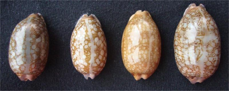 Révision 2013 des porcelaines des Seychelles Scurra10
