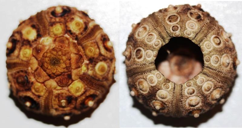 Cidaroida - Cidaridae - Stylocidaris affinis (Philippi, 1845) Styloc10