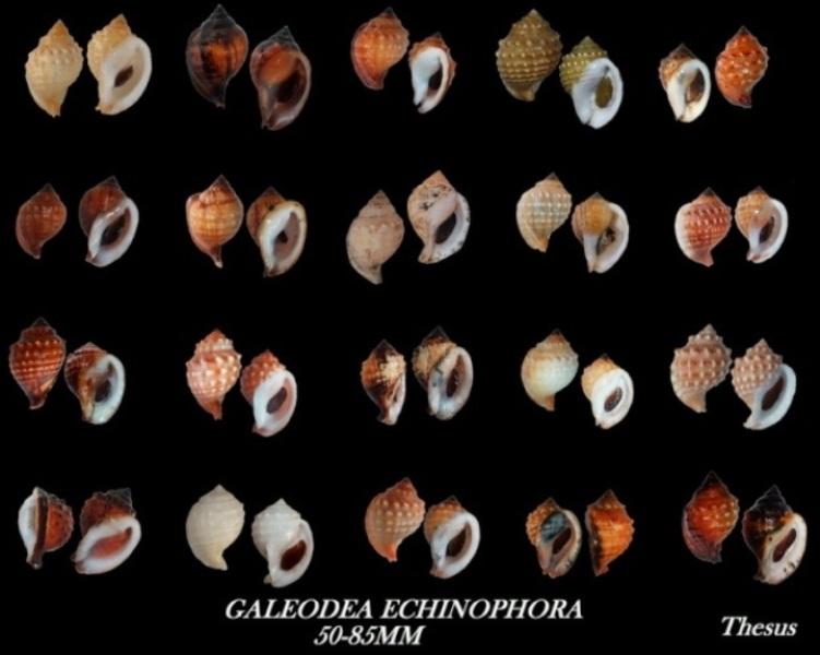 Galeodea echinophora - (Linnaeus, 1758) Zgale410