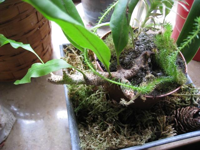 Zeigt her Eure ... Sporenpflanzen - Seite 5 Farn_210