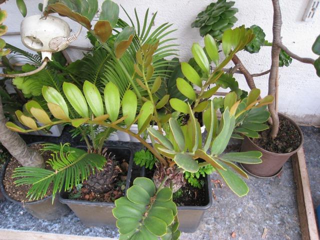 Zeigt her Eure ... Sporenpflanzen - Seite 5 Palmfa10