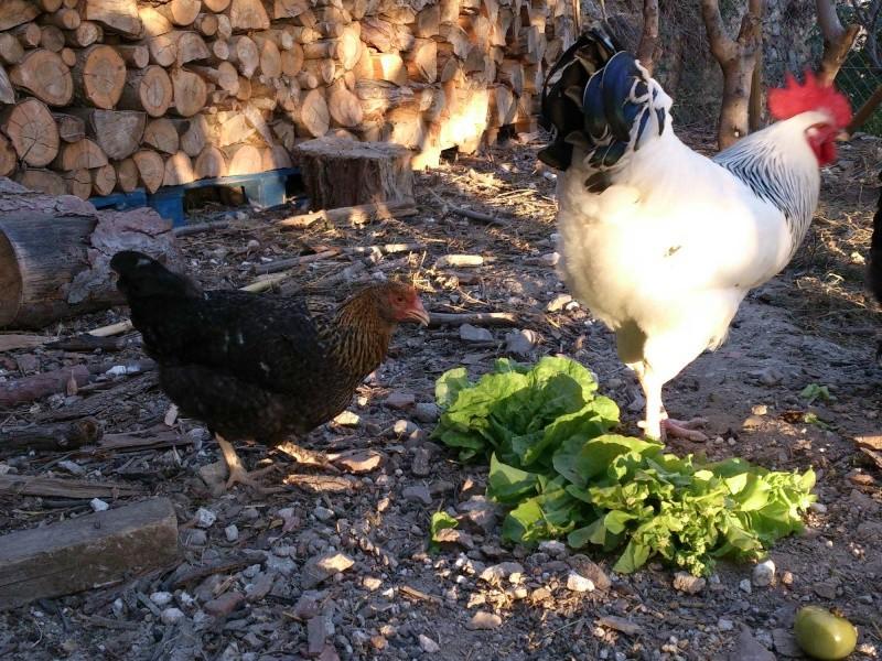 Est-ce une poulette marans coucou doré? Dsc_0111