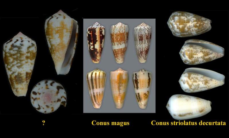 Conus (Pionoconus) striolatus (Kiener, 1848) C-magu11