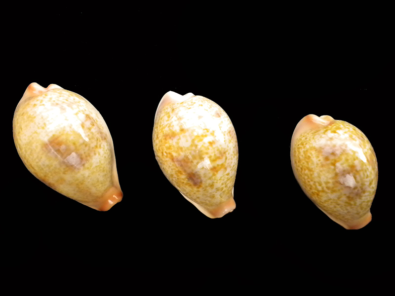 Erronea subviridis subviridis - (Reeve, 1835)  - Page 2 Caisse19