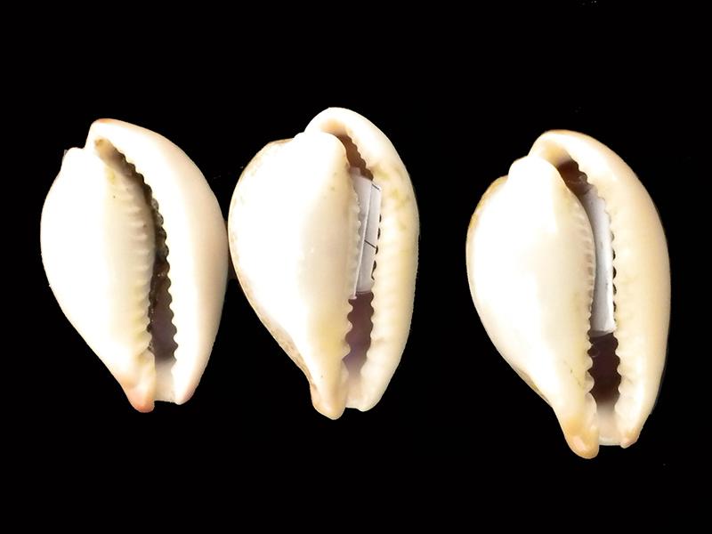 Erronea subviridis subviridis - (Reeve, 1835)  - Page 2 Caisse20