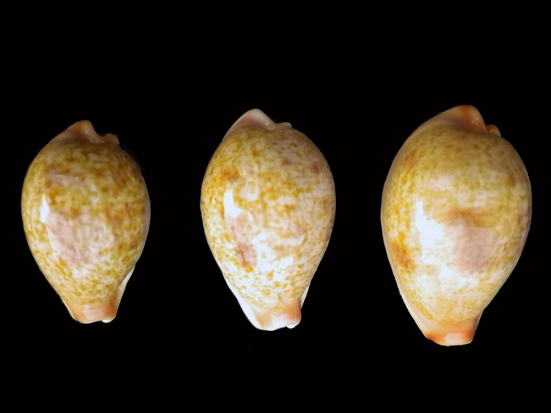 Erronea subviridis subviridis - (Reeve, 1835)  - Page 2 Caisse21