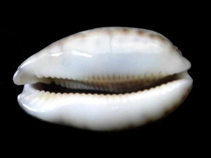 Cypraea à identifier 02 = Mauritia histrio Caisse22