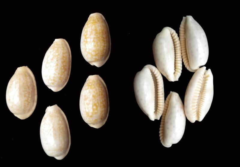 Ovatipsa chinensis - (Gmelin, 1791)  Chinen10