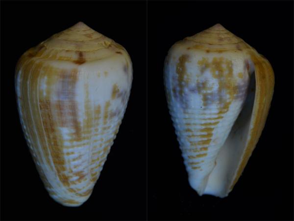 Conus (Pionoconus) catus   Hwass in Bruguière, 1792 - Page 3 Cone-013