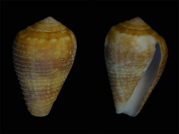 Conus (Pionoconus) catus   Hwass in Bruguière, 1792 - Page 3 Cone-017