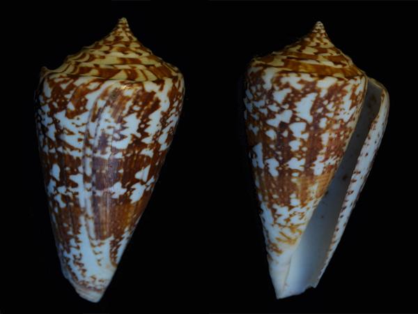Conus (Leptoconus) amadis   Gmelin, 1791 Cone-113