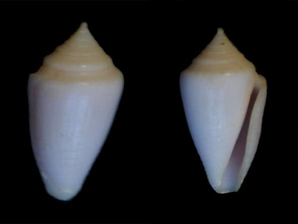 Conasprella (Ximeniconus) puncticulata columba (Hwass in Bruguière, 1792) Cone-121