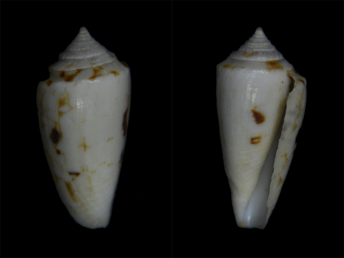 Conus (Cylinder) victoriae   Reeve, 1843 - Page 2 Cone-310