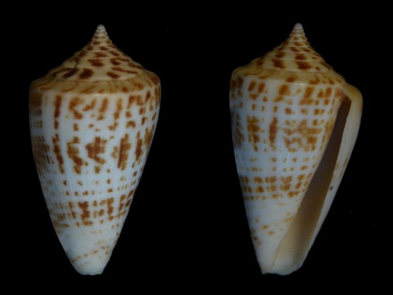 Conus (Phasmoconus) inscriptus  Reeve, 1845 - Page 2 Cone2310
