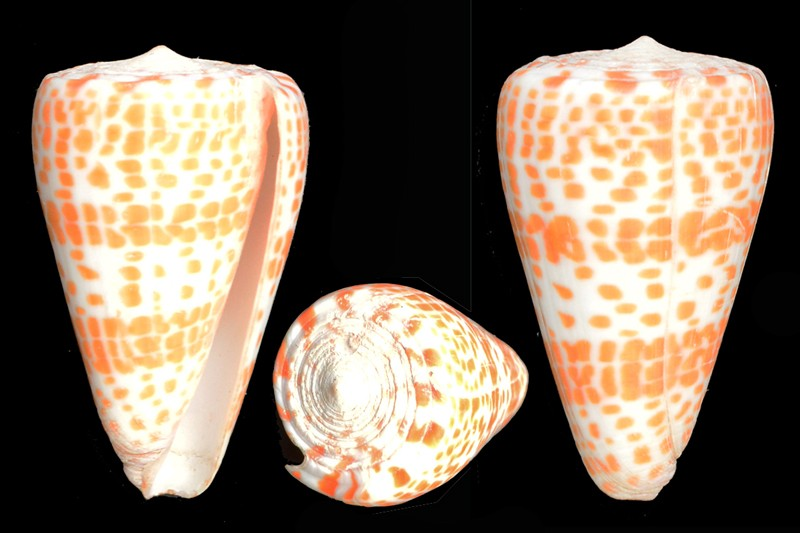 Conus tessulatus (Lithoconus) - Born, 1778 Dsc_3910